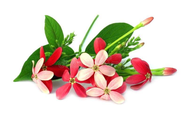Download Plante Grimpante De Rangoon Image stock - Image du lumineux, inde: 45364173