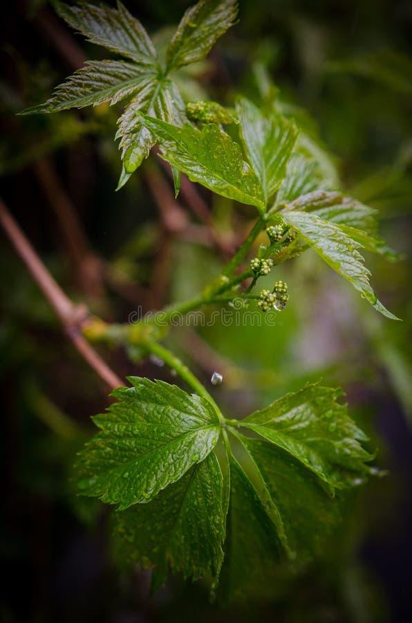 Plante grimpante de Virginie, pluie images stock