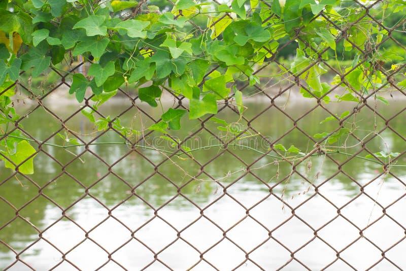 Plante grimpante sur la barrière photo stock