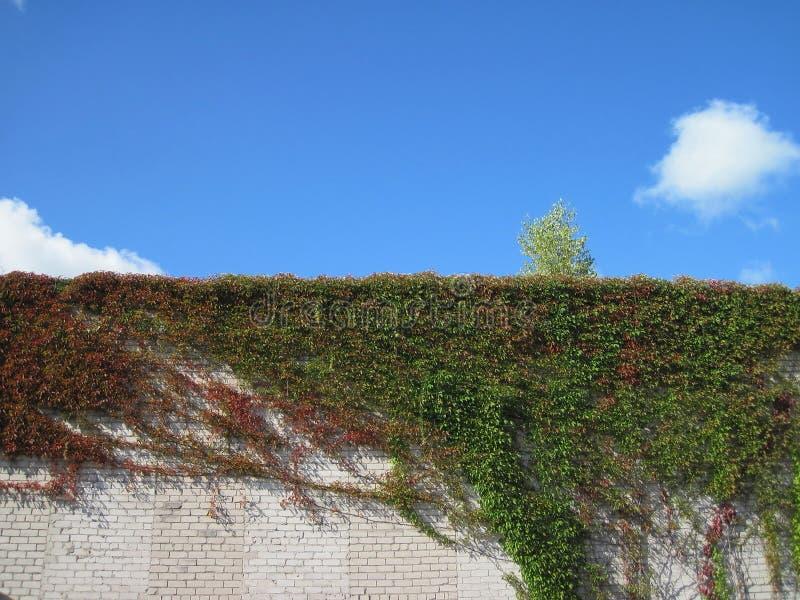 plante grimpante sur le mur image stock image du feuillage lame 16007625. Black Bedroom Furniture Sets. Home Design Ideas