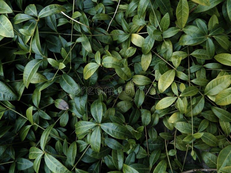 Plante grimpante verte au sol images libres de droits