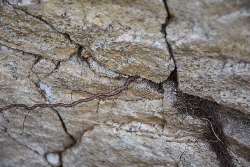 Plante la raíz que crece a través de las grietas de una roca foto de archivo libre de regalías
