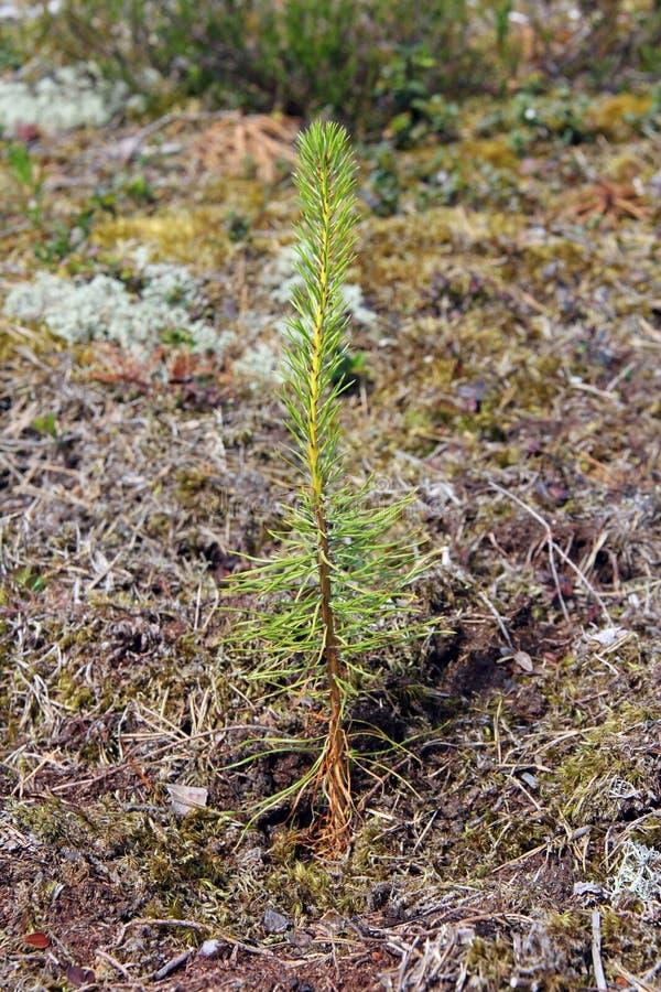 Plante neuf plantée d'arbre de pin images stock