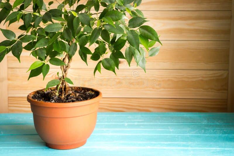 Plante o benjamina em um potenciômetro marrom que está na tabela azul de madeira na frente da parede unpainted, estilo rústico na imagens de stock royalty free
