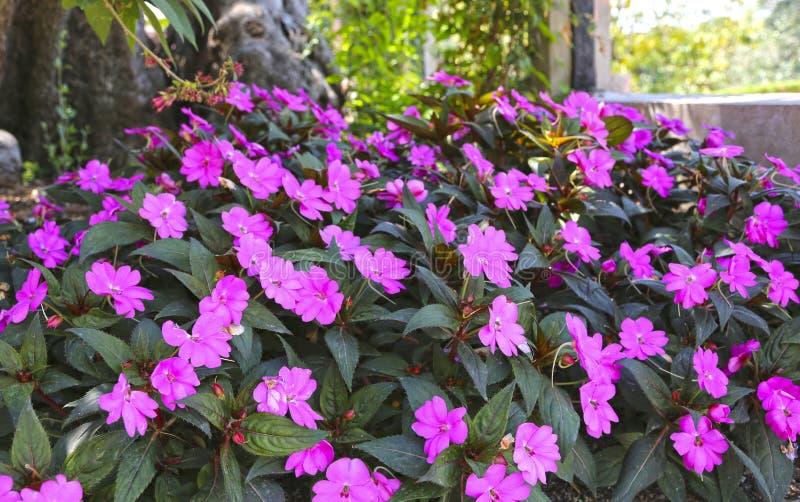 Plante tropicale avec le neuguinea rose d'impatiens de fleurs photo stock