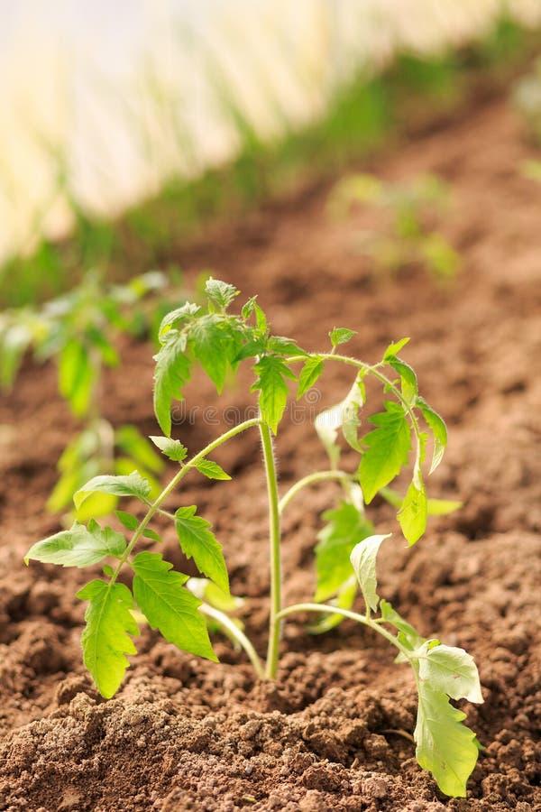 Plante um rebento um tomate imagem de stock royalty free