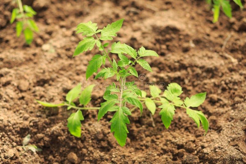 Plante um rebento um tomate fotos de stock royalty free