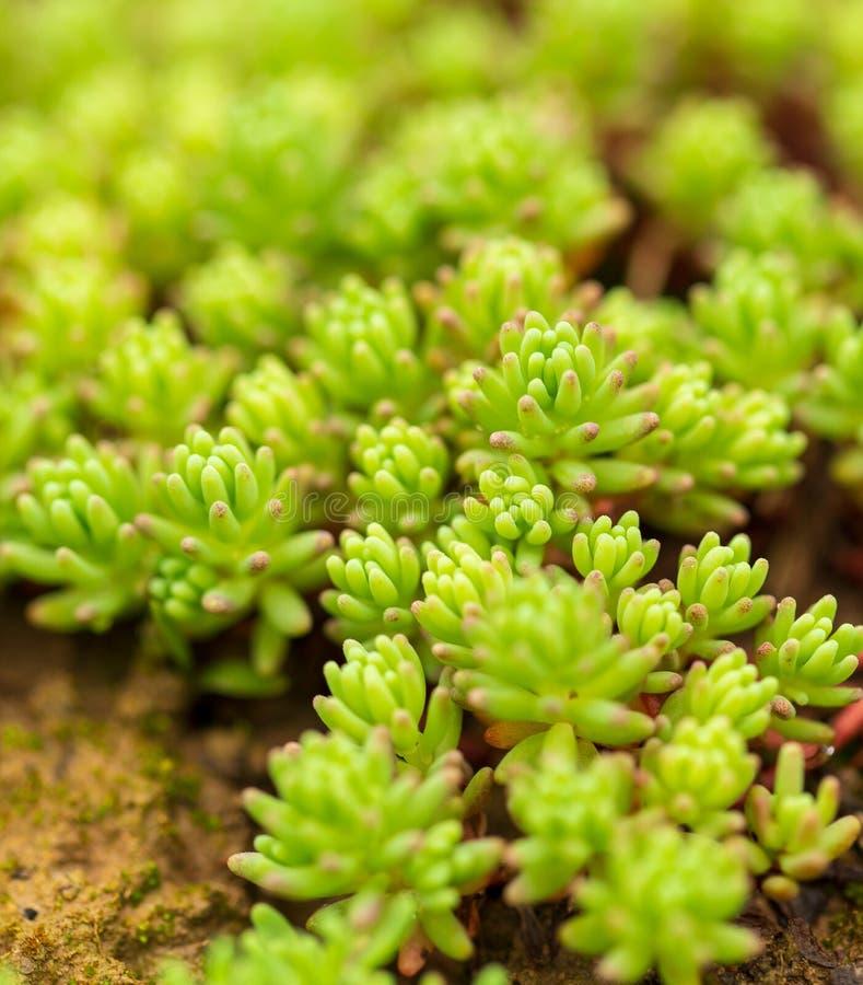 Plante verte couvrant la terre comme la mousse image stock