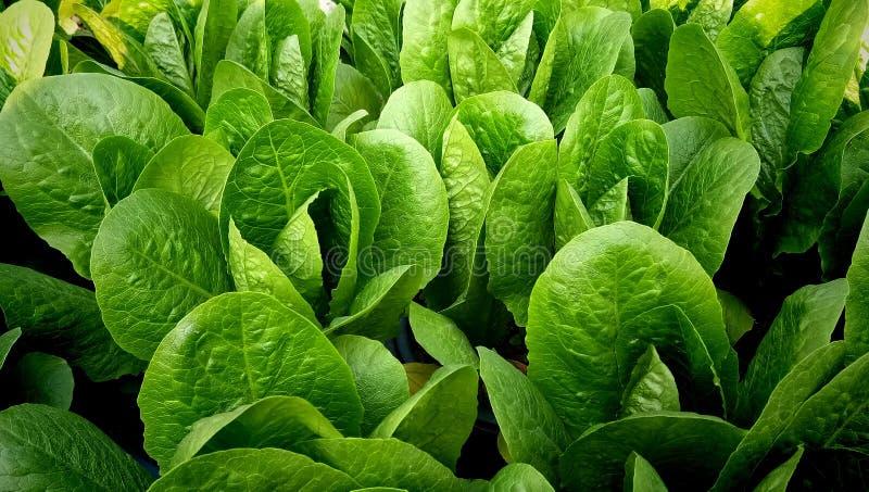 Plante verte d'oleracea de baselle blanche photos stock