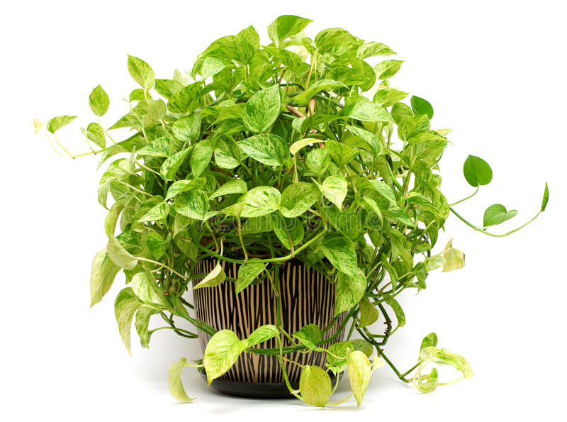 plante verte dans le vase à poterie photo libre de droits