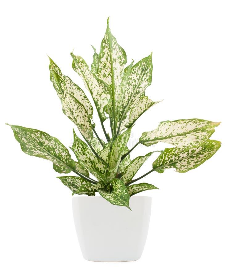 Plante verte de dieffenbachia de lat de Dieffenbachie dans le pot de fleur photo stock