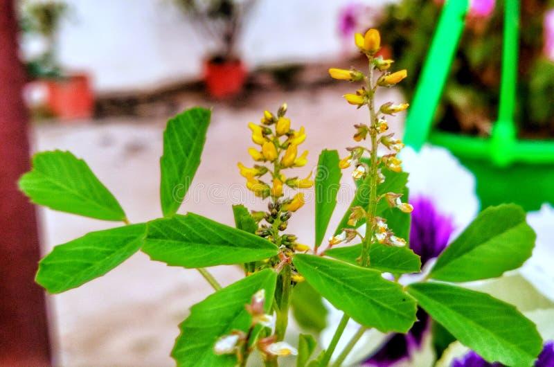 Plante verte de fleur jaune de luzerne photographie stock