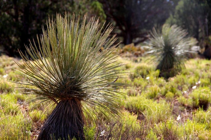 Plante verte de sotol commun de Dasylirion Wheeleri photographie stock libre de droits