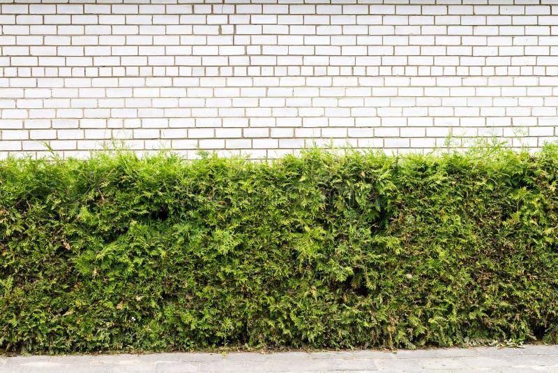 Plante verte et fond blanc de mur de briques photos libres de droits