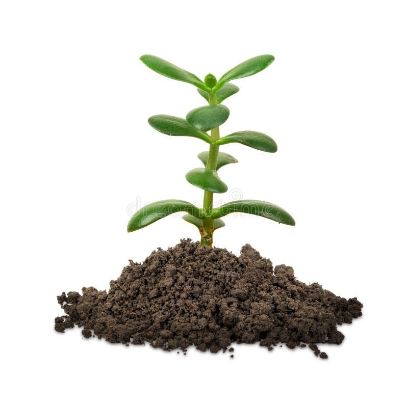 plante verte sur le blanc image stock image du arbre 64289879. Black Bedroom Furniture Sets. Home Design Ideas
