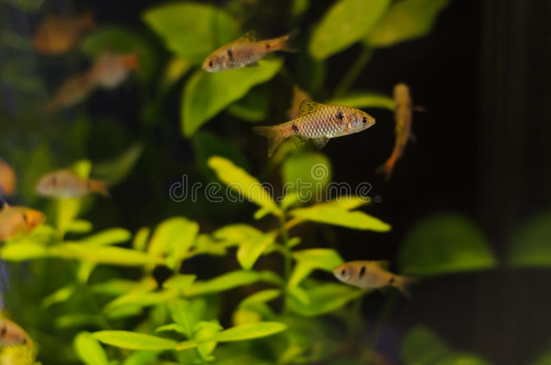 Planted aquarium with fish. Tropical plant underwater for decoration royalty free stock photo