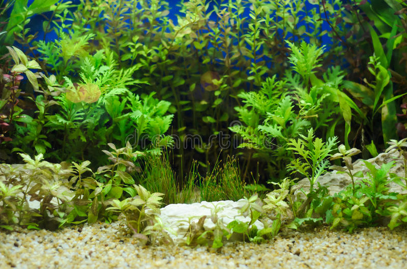 Planted in aquarium. Tropical plant underwater for decoration stock photo