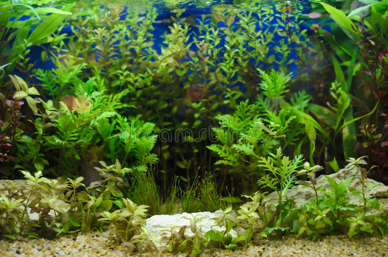 Planted in aquarium. Tropical plant underwater for decoration stock image