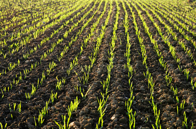 Download Planted Field In Sunlit Stock Photos - Image: 22013723