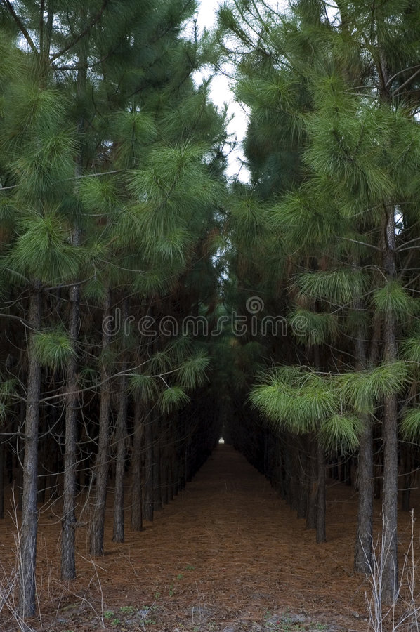 Planted Pines royalty free stock photos