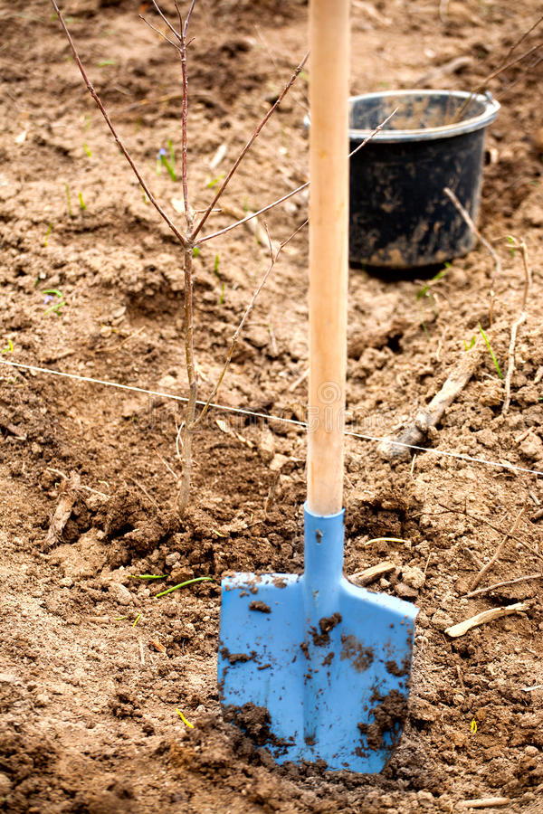 Planted Tree Royalty Free Stock Image