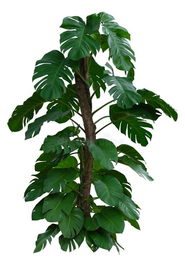 Planten de de Mexicaanse broodvruchten of Emmentaler van Liebm van Monsteradeliciosa Tropisch Groen Bladerengebladerte, geïsoleer stock afbeelding