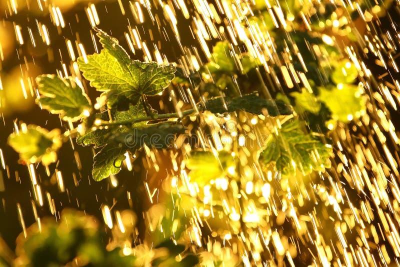 Planten verlaten onder een zware regendouche met waterdruppels in de stralen van de staande zon royalty-vrije stock fotografie