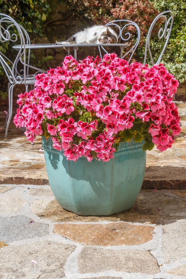 Planter with pink geranium flowers. In a garden stock image