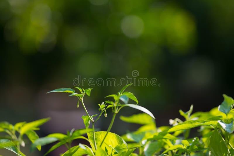 Plantera barnkammaren och den organiska grönsakträdgården för sunt äta Selektiv fokus på unga frodiga gräsplansidor vid organiskt arkivbilder