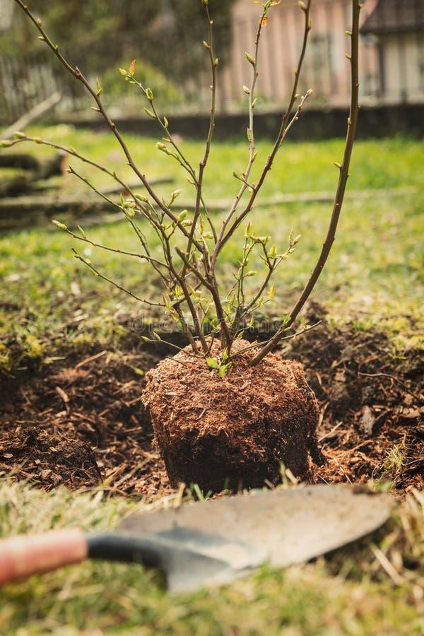 Plantera en blåbärbuske i trädgården royaltyfri foto