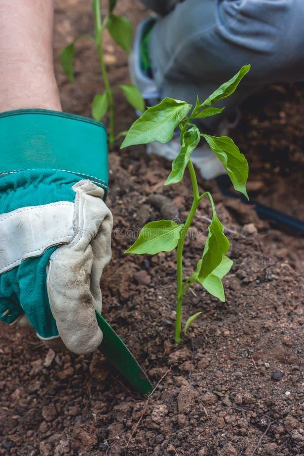Plantera en pepparplanta i jordning royaltyfria foton