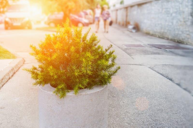 Plantera ett litet cederträträd i en vit kruka på den suddiga bakgrunden av gatan Stads- landskap f?r illustrationliggande f?r de arkivbilder