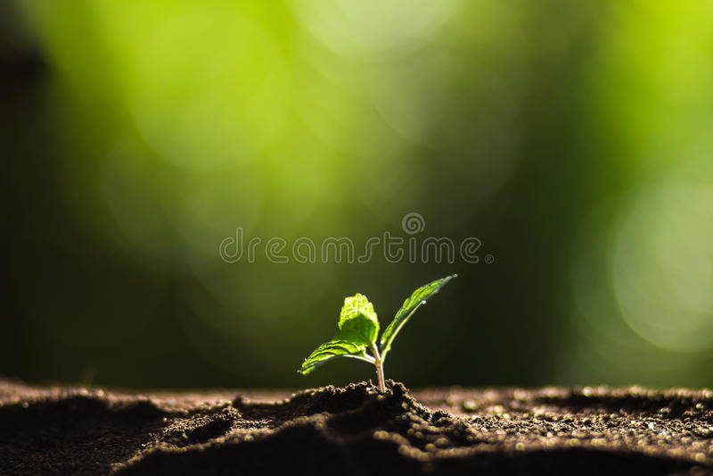 Plantera ett träd i naturen, kaffeträdet som är nytt, trädmoment royaltyfria foton