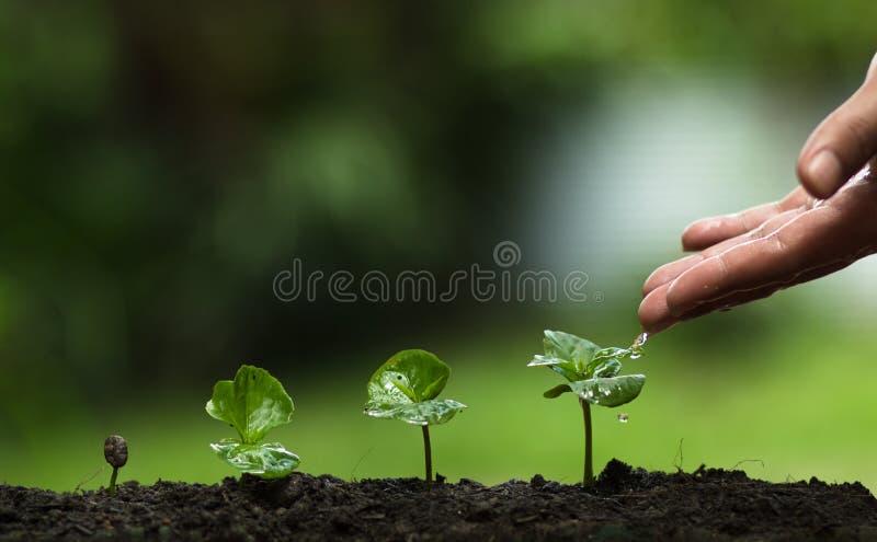Plantera ett träd, väx kaffeträd, friskhet, händer som skyddar träd och att bevattna och att växa, gräsplan, royaltyfria bilder