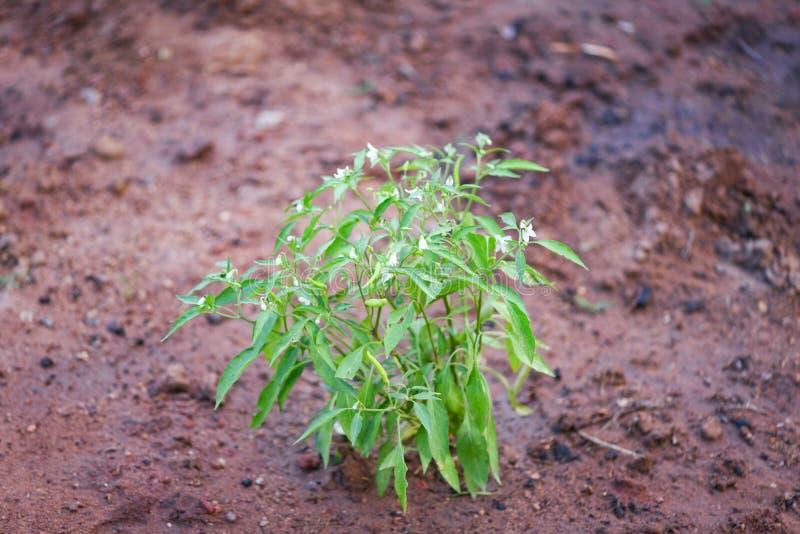 plantera för chiliträd på jordjordbruk i grönsakträdgård royaltyfri foto