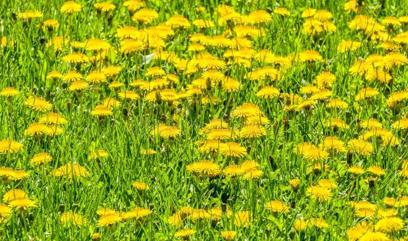 Plantera för mass av maskrosor i fält fotografering för bildbyråer