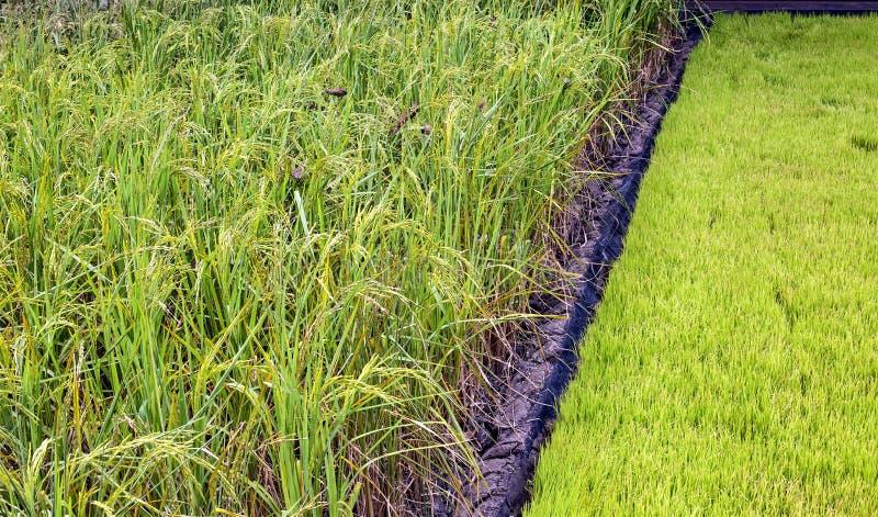 Plantera för ris fotografering för bildbyråer