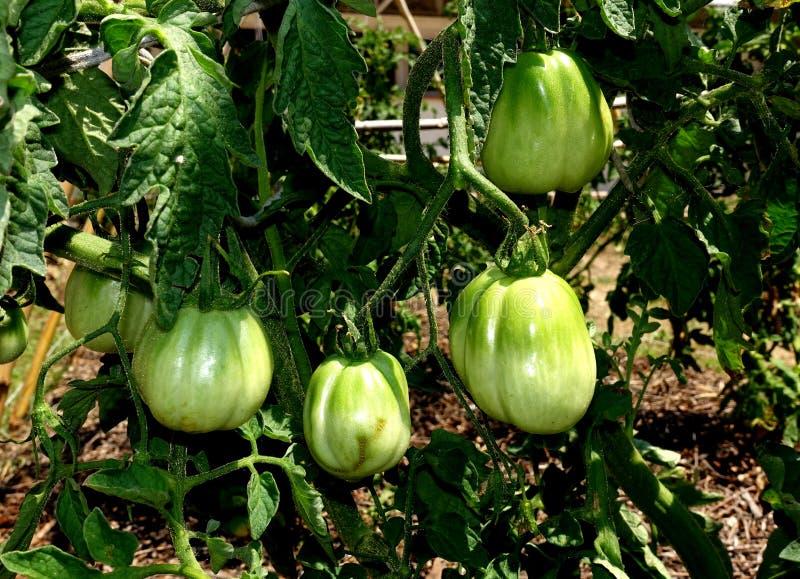Plantera gröna tomater i en grönsakträdgård arkivfoton