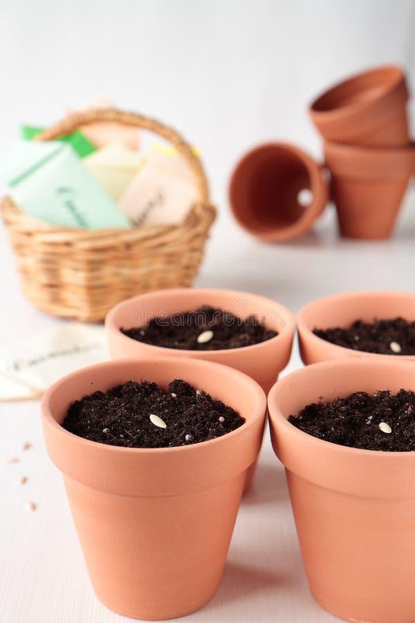 Plantera gurkfröna i keramiska krukar fotografering för bildbyråer