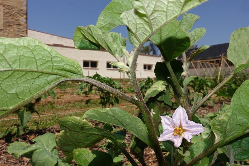 Plantera haricot vert i en grönsakträdgård med dess blomma arkivfoton