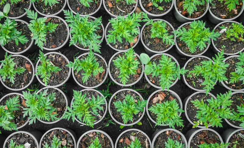 Plantera i jardiniere arkivfoton
