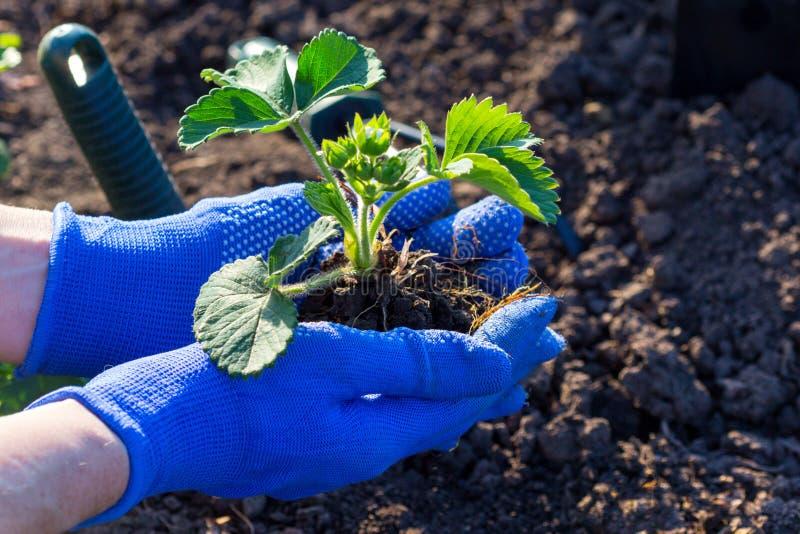 Plantera jordgubbar i trädgården royaltyfria foton