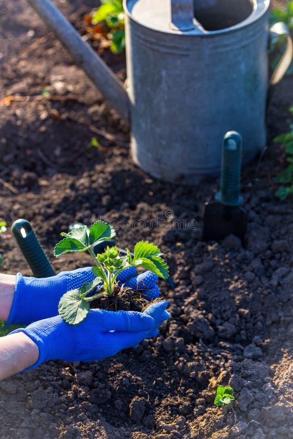 Plantera jordgubbar i trädgården arkivbilder