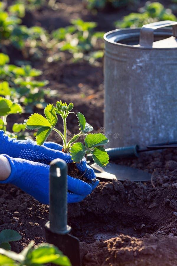 Plantera jordgubbar i trädgården arkivfoto