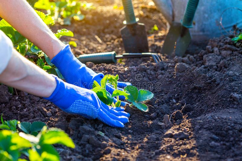 Plantera jordgubbar i trädgården royaltyfri fotografi