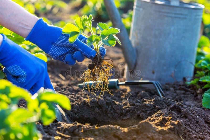 Plantera jordgubbar i trädgården royaltyfri bild