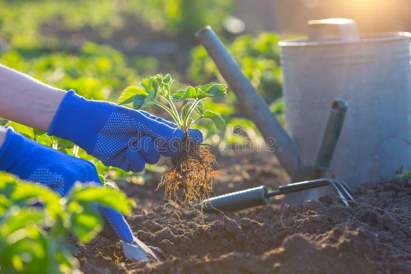 Plantera jordgubbar i trädgården arkivbild