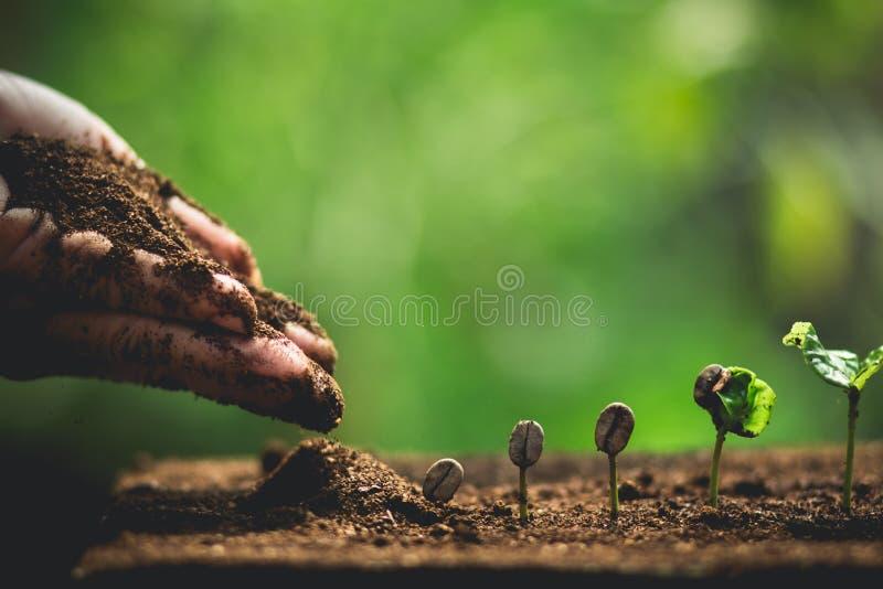 Plantera kaffeplantor i naturnärbild av den nya gröna växten arkivfoton