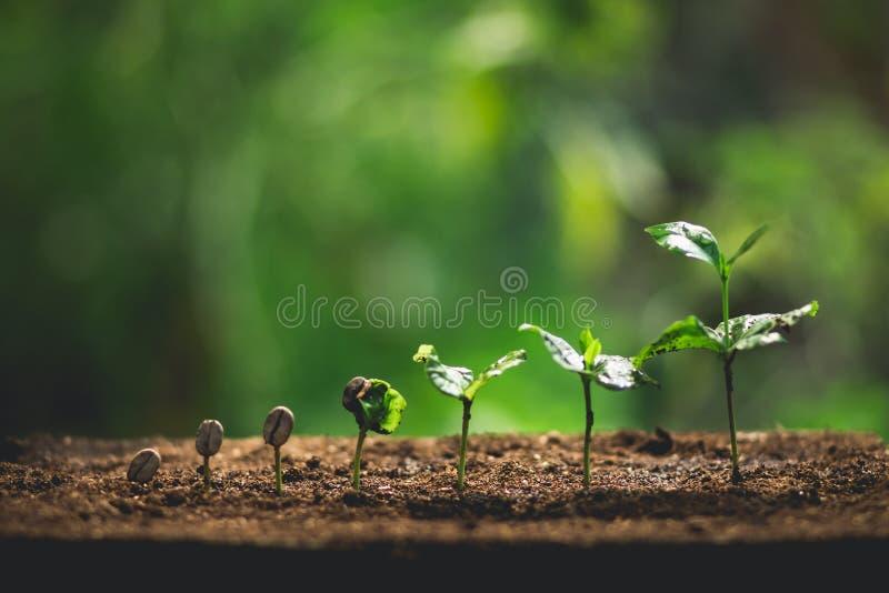 Plantera kaffeplantor i naturnärbild av den nya gröna växten royaltyfri foto