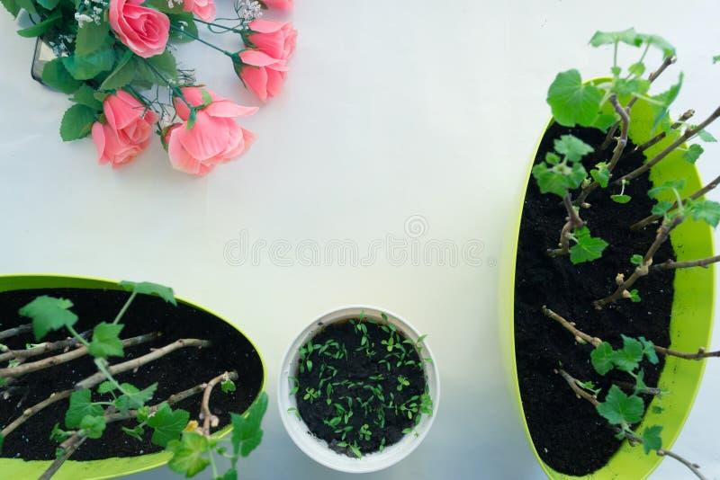 Plantera plantavinbäret i krukor, trädgårds- hjälpmedel royaltyfri foto